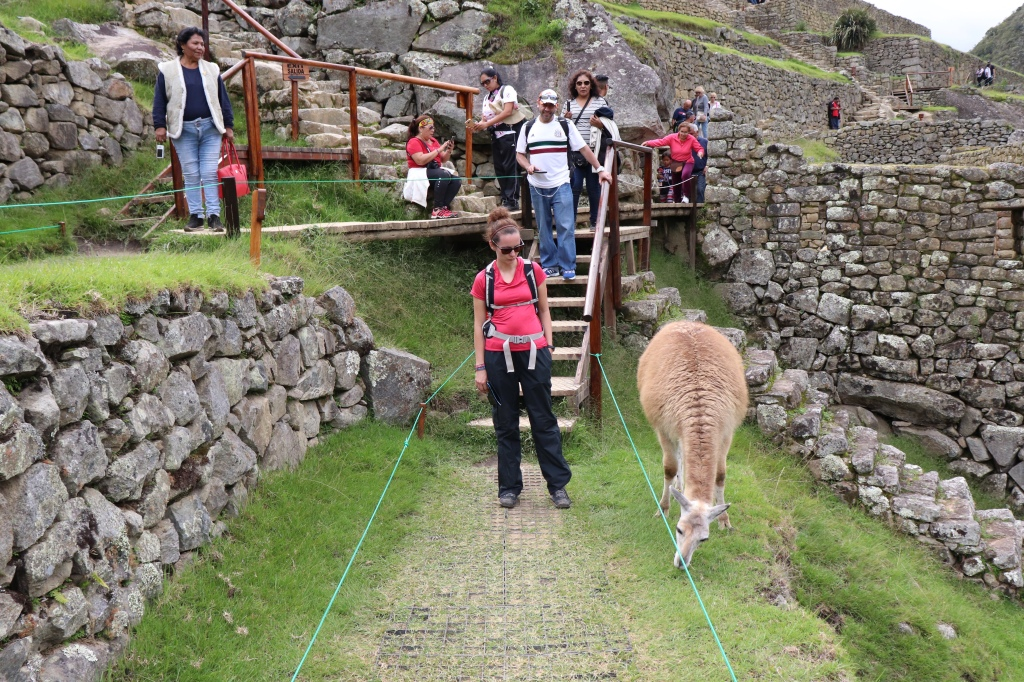 A big queue developing because a llama is eating