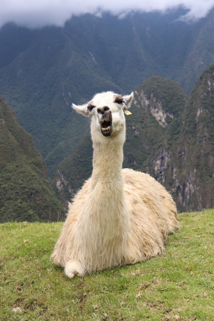 Llama at Machu Picchu